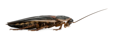 Dubia Roach Supplies for sale