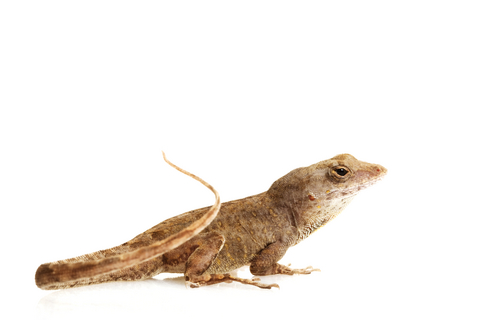 Feeder Anoles for sale