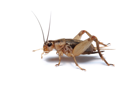 Image result for crickets
