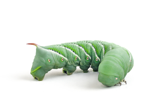 Hornworms for sale - Manduca