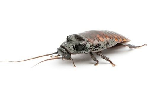 Madagascar hissing cockroaches for sale