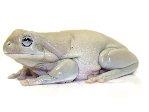 Blue Eye White's Tree frog for sale