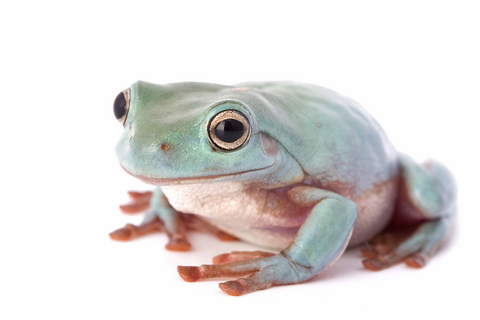 Blue White's Tree frog for sale