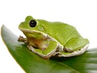Buy a Barking Tree frog