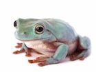 Buy a Blue White's Tree frog