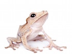 Buy a Borneo Eared Tree frog