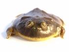 Buy Budgetts frog