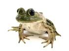 Buy Bullfrog