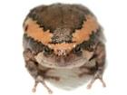 Buy Chubby frog