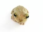 Buy a Cuban Tree frog