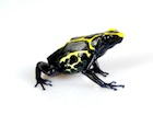Buy a Dyeing Poison Dart frog