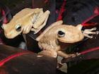 Buy an Emerald Eye Tree frog