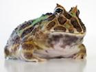 Buy Fantasy Pacman frog