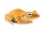 Buy a Golden Tree frog