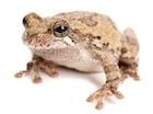 Buy a Gray Tree frog