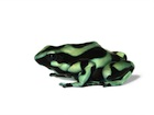 Buy a Green and Black Poison Dart frog