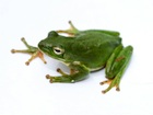 Buy a Green Tree frog
