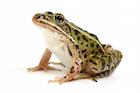 Buy Leopard frog