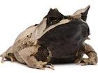 Buy Malayan Horned frog