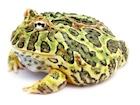 Buy Ornate Pacman frog