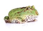Buy Pacman frog