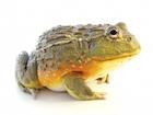 Buy Pixie frog