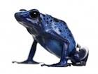 Buy a Blue Poison Dart frog