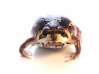 Buy Rain frog
