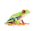 Buy a Red Eye Tree frog