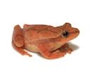 Buy a Spring Peeper frog