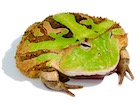 Buy a Suriname horned frog