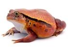 Buy Tomato frog