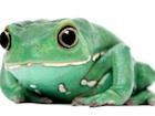 Buy a Waxy Monkey Tree frog - Phyllomedusa sauvagii