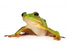 Buy a White Lipped Tree frog