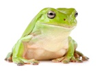 Buy a White's Tree frog