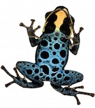 Buy a Strawberry Poison Dart frog