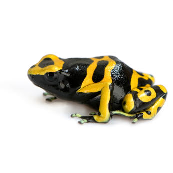 Bumble Bee Poison Dart Frog for sale - Dendrobates leucomelas