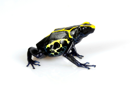 Dyeing Poison Dart Frog for sale