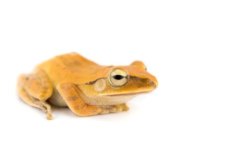 Golden Tree frog for sale