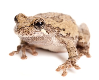 Gray Tree frog for sale