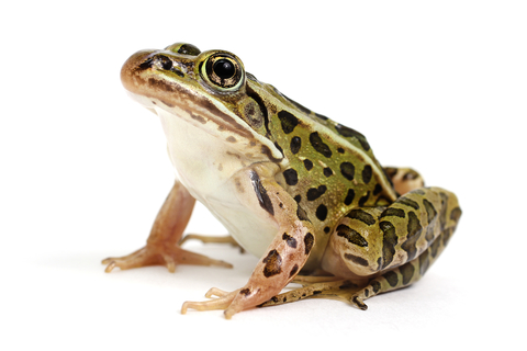 Leopard Frog for sale - Rana pipiens