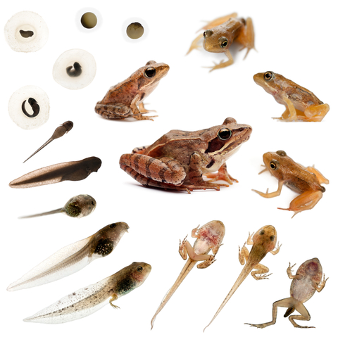 Tadpoles for sale reptiles for sale for Frog transformation