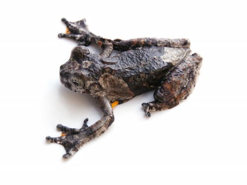 Marbled Tree frog for sale - Hyla marmorata
