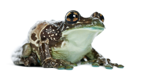 Amazon Milk frog for sale