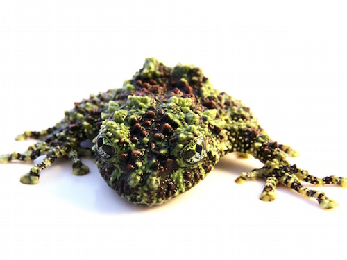 Mossy frog for sale - Theloderma bicolor