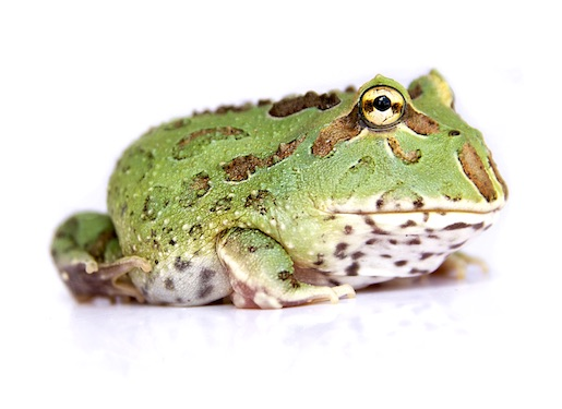 Pacman Frog For Sale Reptiles For Sale