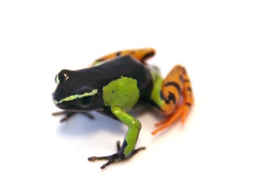 Painted mantella for sale - madagascariensis