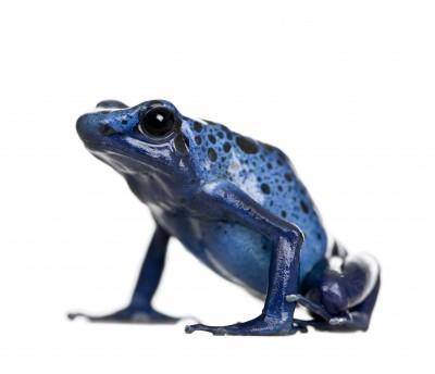 sale retailer c5706 b2a1d Blue Poison Dart Frog for Sale