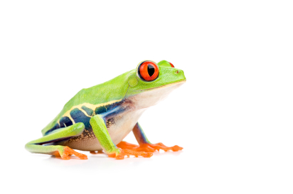 red eye tree frog for sale reptiles for sale