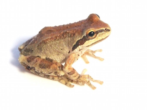 Sierran Tree Frog for Sale | Reptiles for Sale